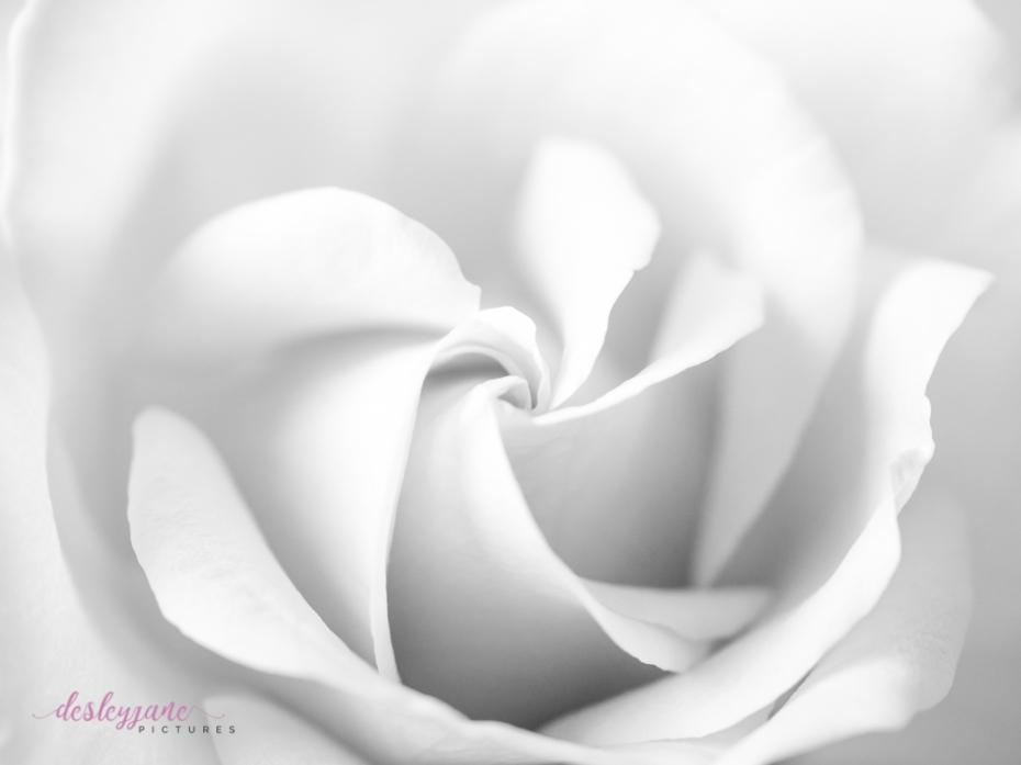 lavender roses-57