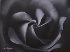 lavender roses-58