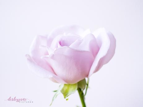 lavender roses-59