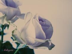 lavender roses-6