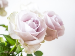 lavender roses-7