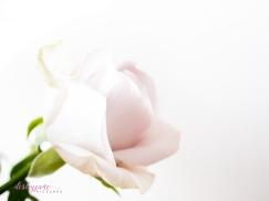 lavender roses-8