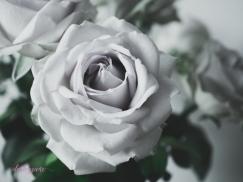 lavender roses-9