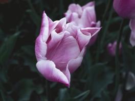 Tulips_Julianadorp-11