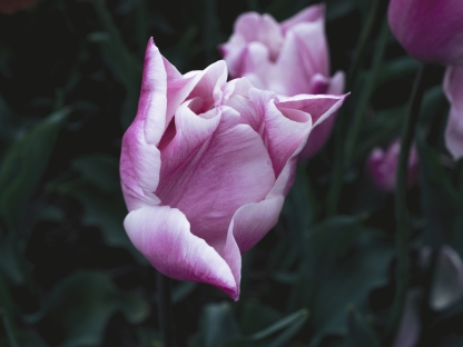 Tulips_Julianadorp-11