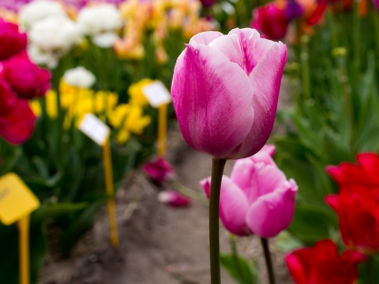 Tulips_Julianadorp-12
