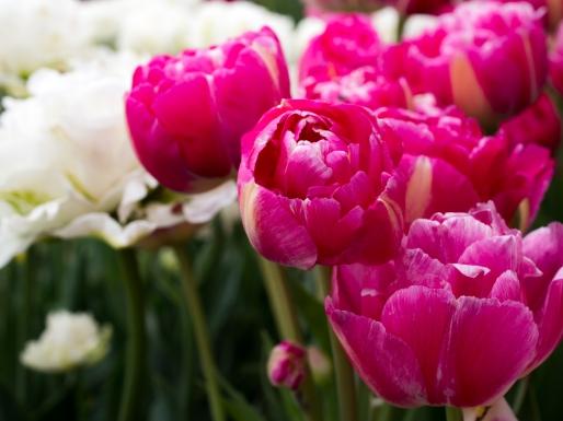 Tulips_Julianadorp-13