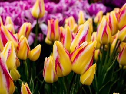 Tulips_Julianadorp-14
