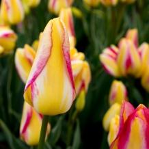 Tulips_Julianadorp-15