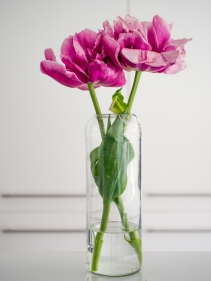 Tulips_Julianadorp-152
