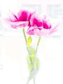Tulips_Julianadorp-155