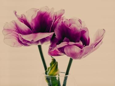 Tulips_Julianadorp-157