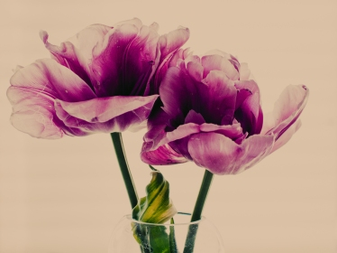 Tulips_Julianadorp-157
