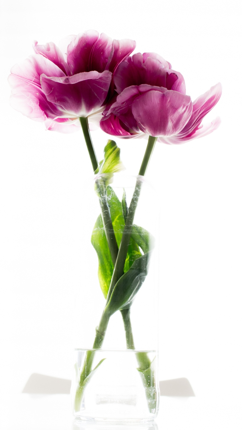 Tulips_Julianadorp-159