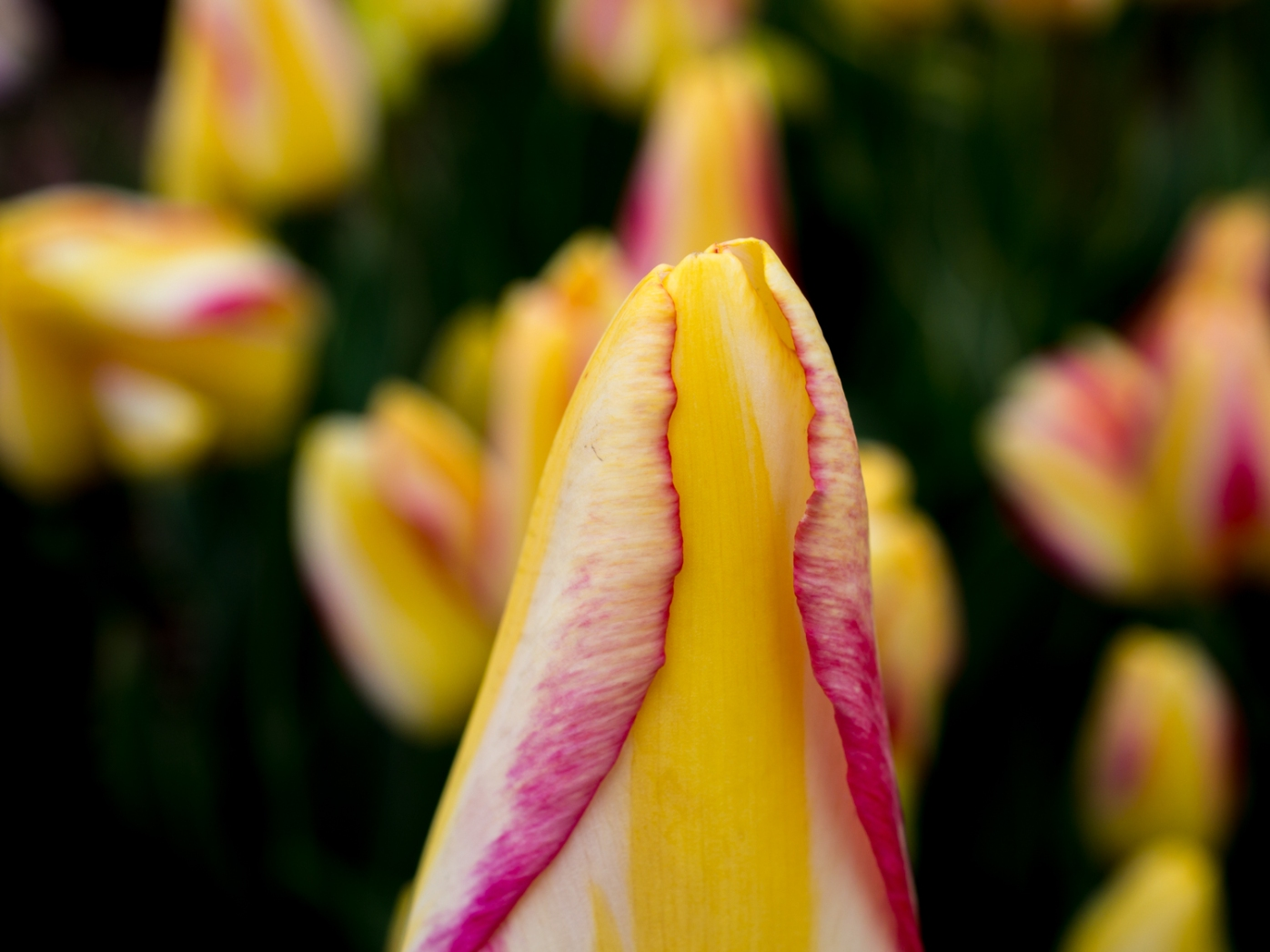 Tulips_Julianadorp-16
