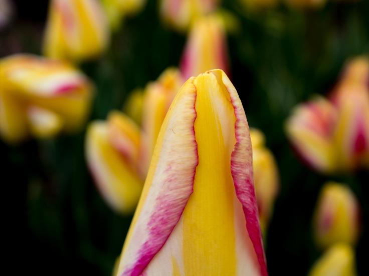Tulips_Julianadorp-16