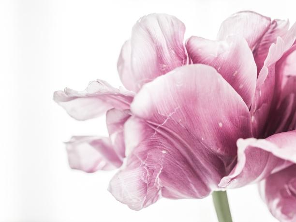 Tulips_Julianadorp-160