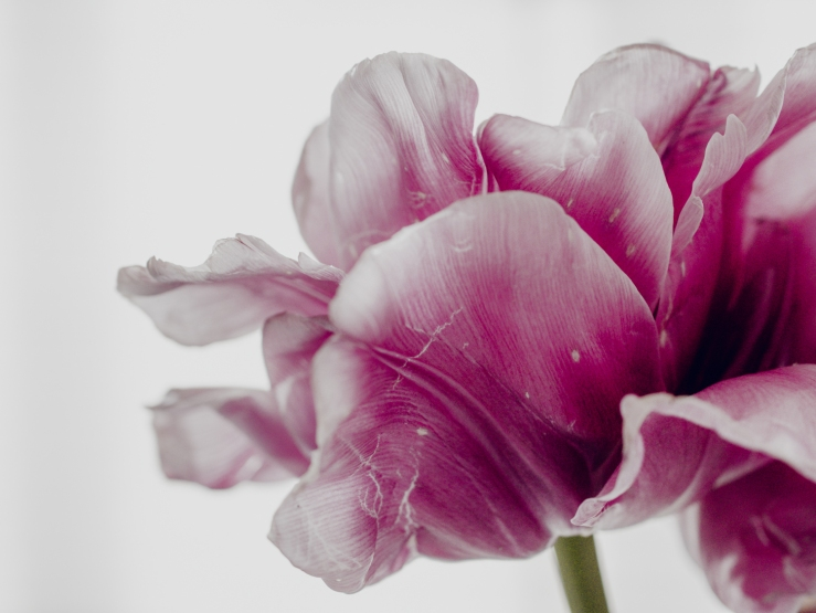 Tulips_Julianadorp-161