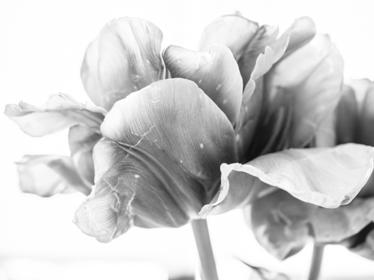 Tulips_Julianadorp-162