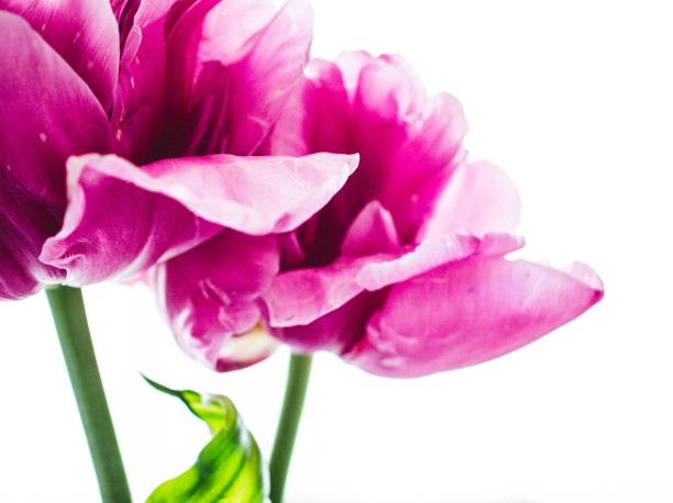 Tulips_Julianadorp-163