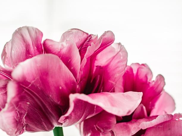 Tulips_Julianadorp-164