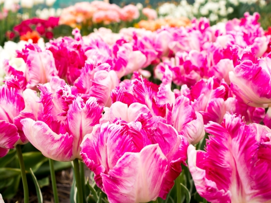 Tulips_Julianadorp-18