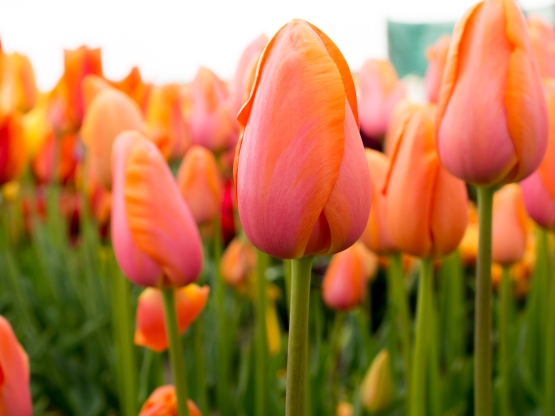 Tulips_Julianadorp-19