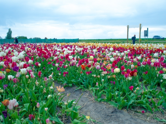 Tulips_Julianadorp-2