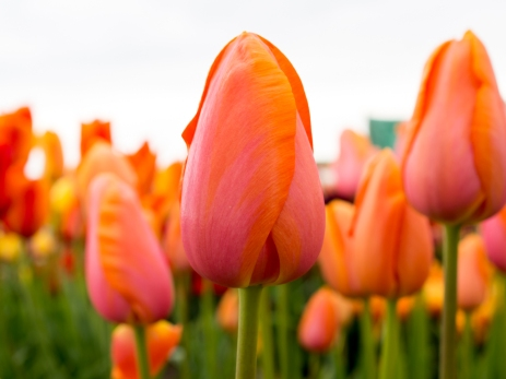 Tulips_Julianadorp-20