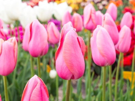 Tulips_Julianadorp-22