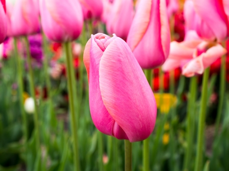 Tulips_Julianadorp-23