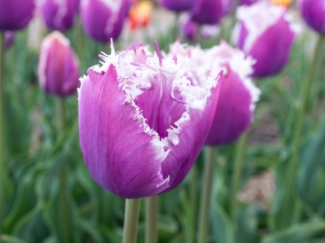 Tulips_Julianadorp-26