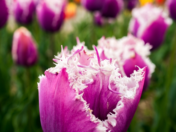 Tulips_Julianadorp-27