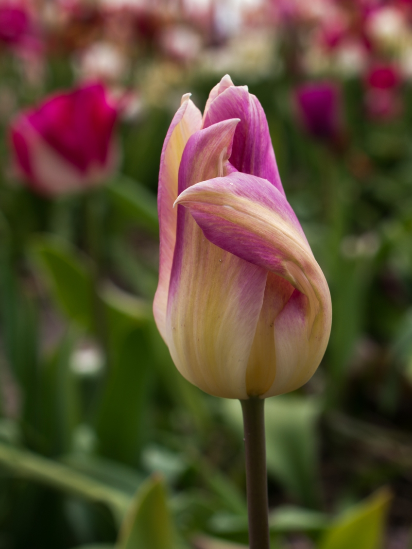 Tulips_Julianadorp-4