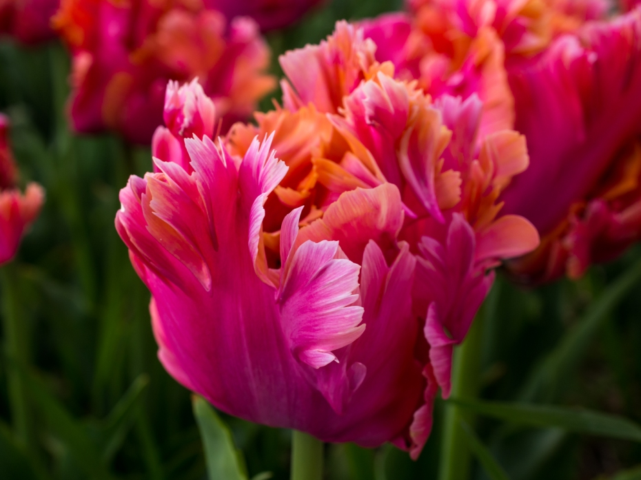 Tulips_Julianadorp-40