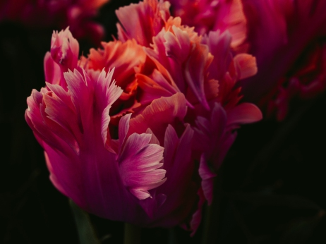 Tulips_Julianadorp-41