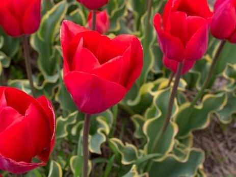 Tulips_Julianadorp-44