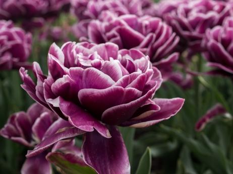 Tulips_Julianadorp-48