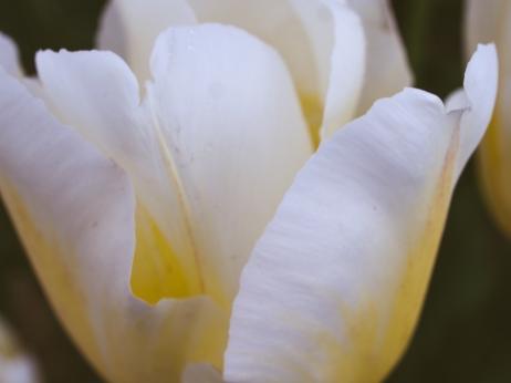 Tulips_Julianadorp-52