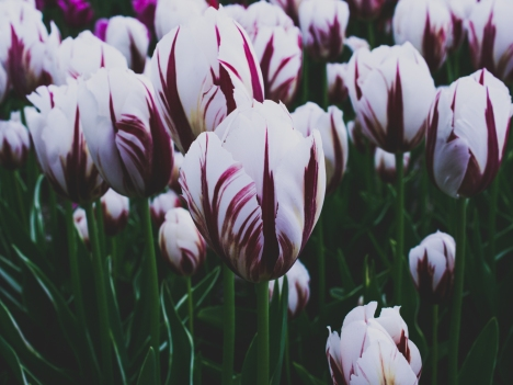 Tulips_Julianadorp-53