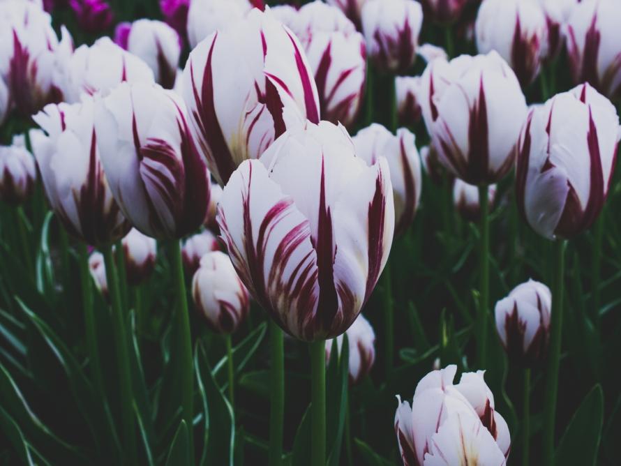 Tulips_Julianadorp-53