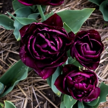 Tulips_Julianadorp-55