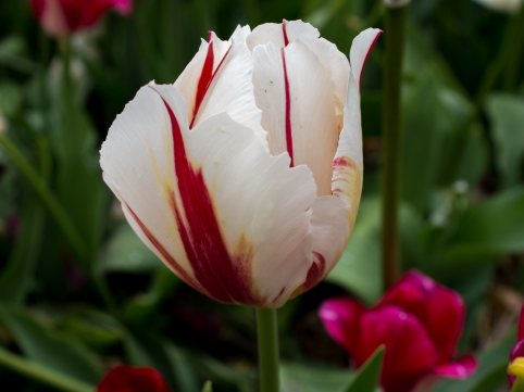 Tulips_Julianadorp-6