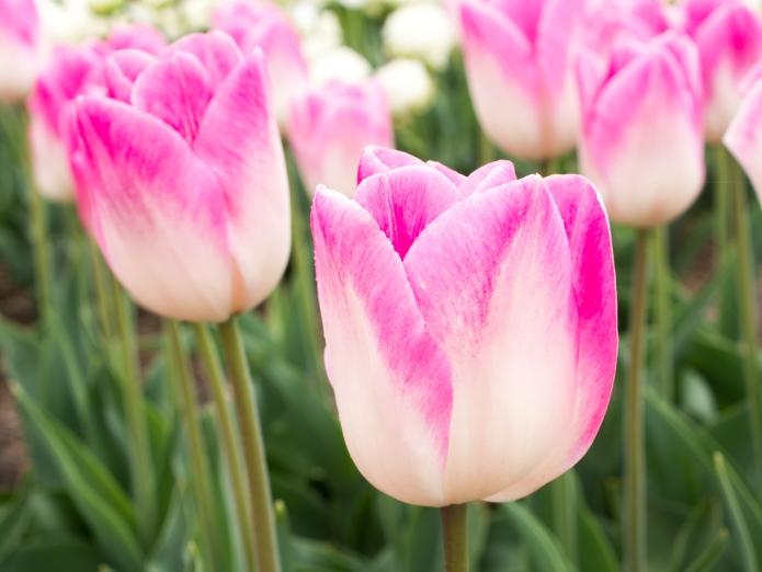 Tulips_Julianadorp-60