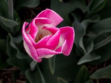 Tulips_Julianadorp-61