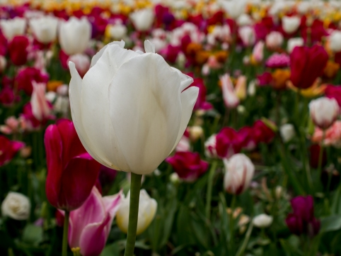 Tulips_Julianadorp-7