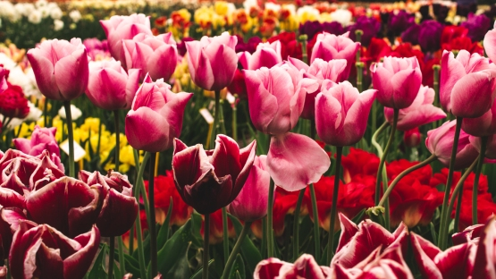 Tulips_Julianadorp-9