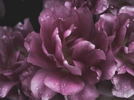 Tulips_Julianadorp-104
