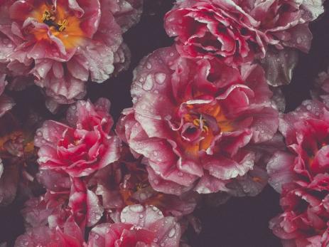 Tulips_Julianadorp-105