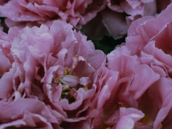 Tulips_Julianadorp-109